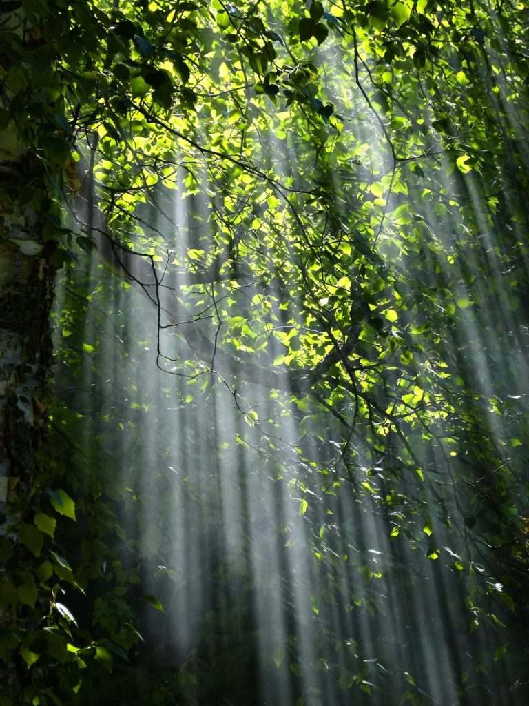 Light streaming through a forest canopy