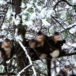 Yunnan snub-nosed monkeys sitting on a tree in the snow